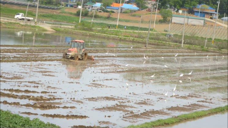 강화농촌 먹잇감 구하는 두루미풍경
