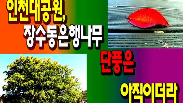 인천대공원, 장수동은행나무 단풍은 아직이더라
