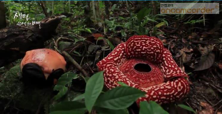 시체꽃 라플라시아