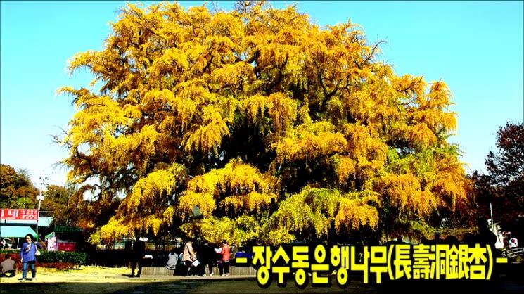 장수동은행나무 가을이야기
