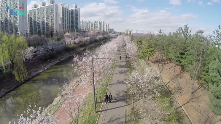 계양 서부간선수로 벚꽃축제
