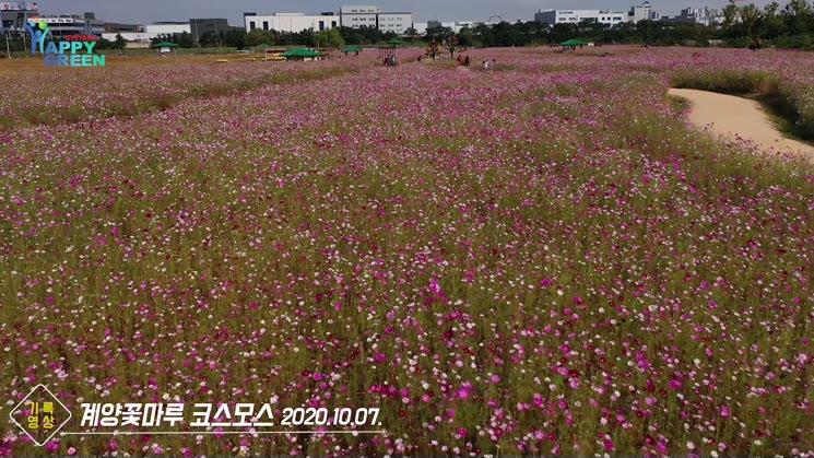 계양꽃마루 코스모스 [기록영상]